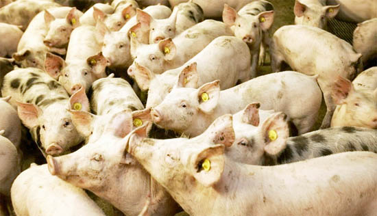 Heel veel varkens