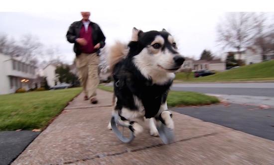 Hond kan weer lopen dankzij 3d-geprinte poten [video]