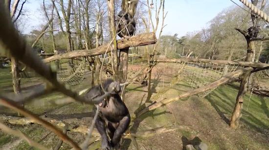 Apen uit Burgers Zoo vallen drone aan