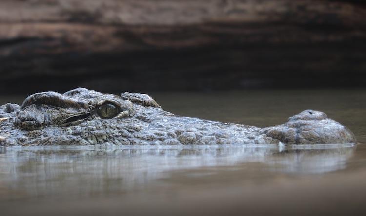 Wanneer je smartphone naast een alligator valt [video]
