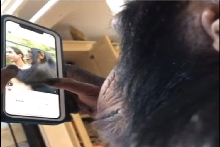 chimpansee-op-insta