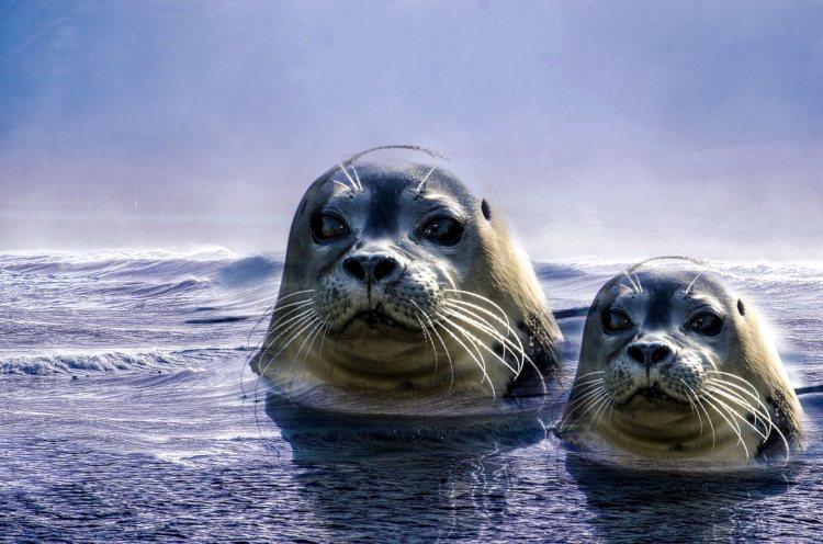 zingende-zeehonden